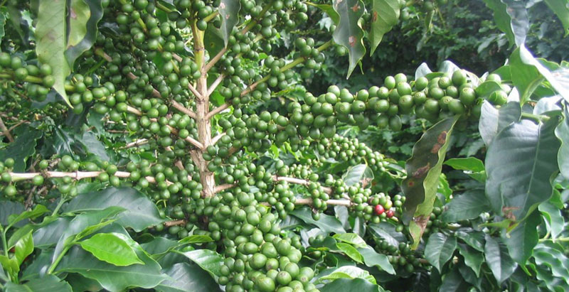 Mity o odchudzających właściwościach zielonej kawy